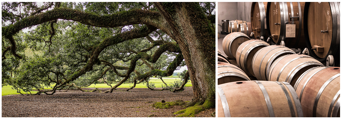 Oak tree and oak barrels