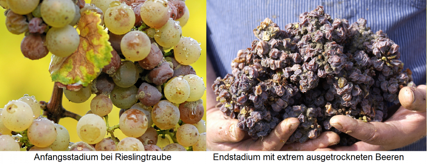 Botrytis grapes - initial and final stages