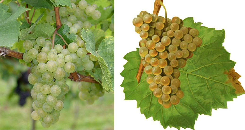 Grape of the variety Gouais Blanc or White Heunisch