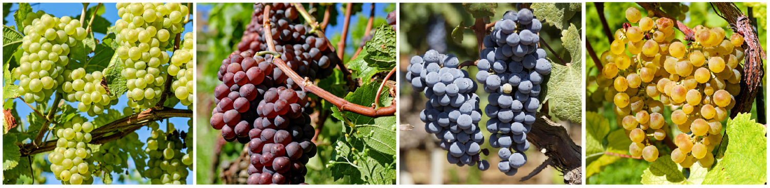 Grapes in different colors