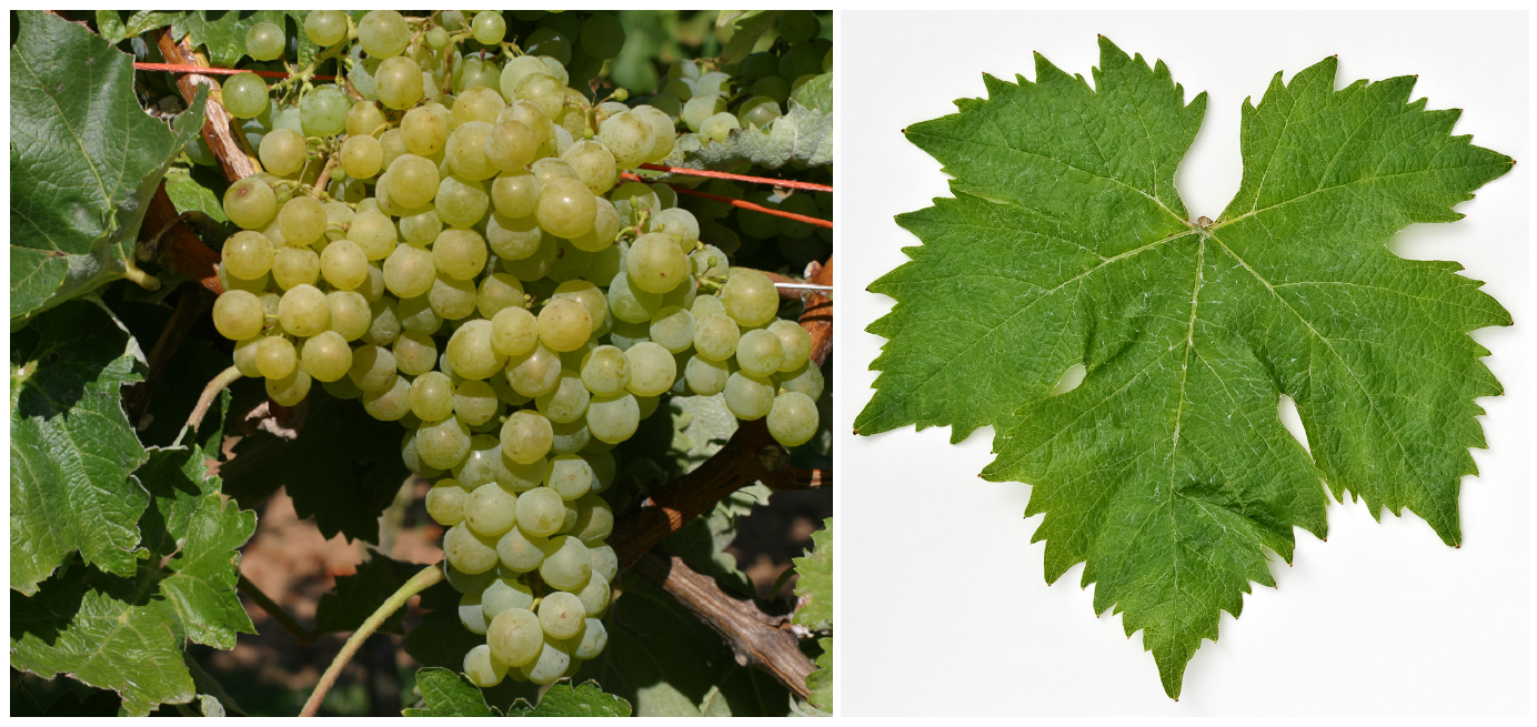 Grape and leaf of Airén