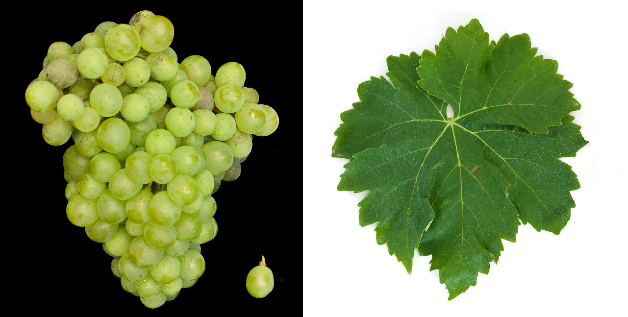 Macabeo (Viura) - grape and leaf