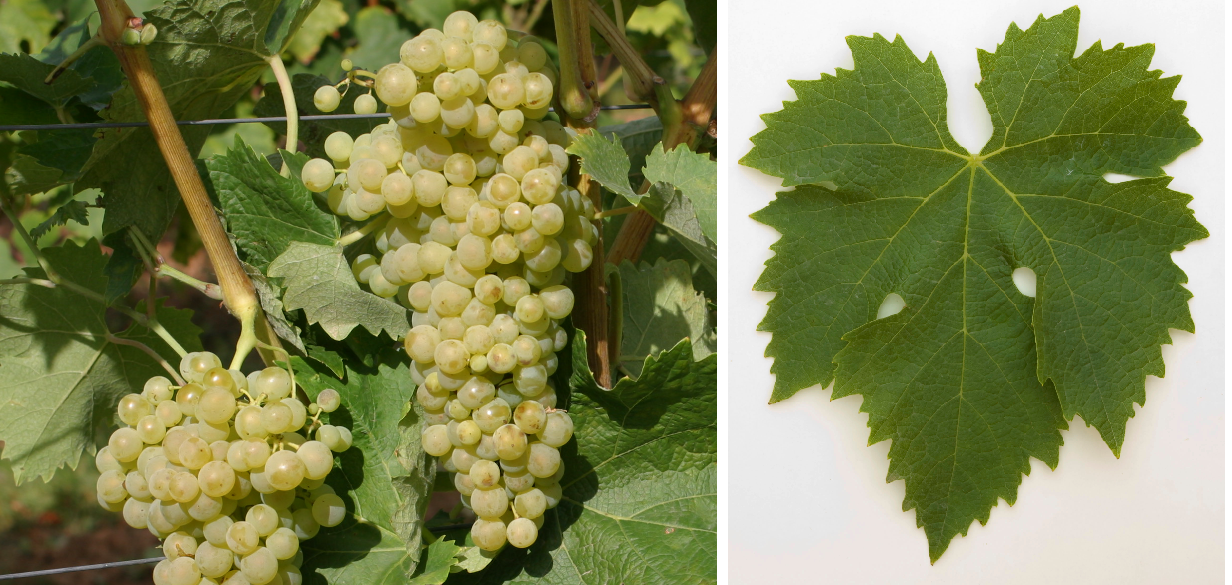 Trebbiano Toscano (Ugni Blanc) - grape and leaf