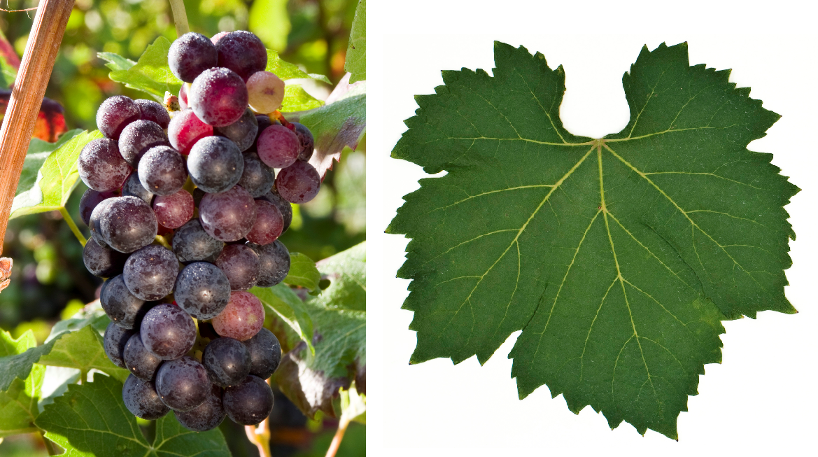 Uva Rara - grape and leaf