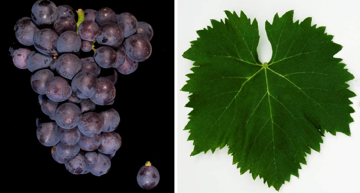Ciliegiolo - grape and leaf