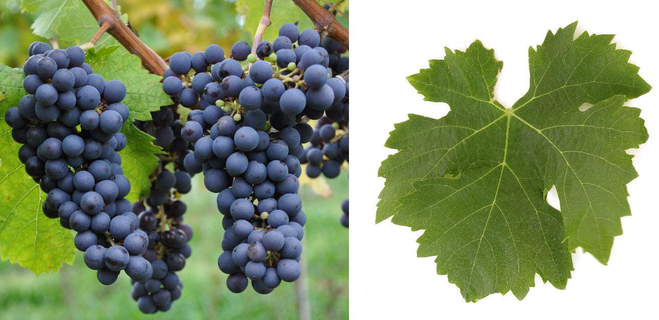 Cabernet Franc - grape and leaf