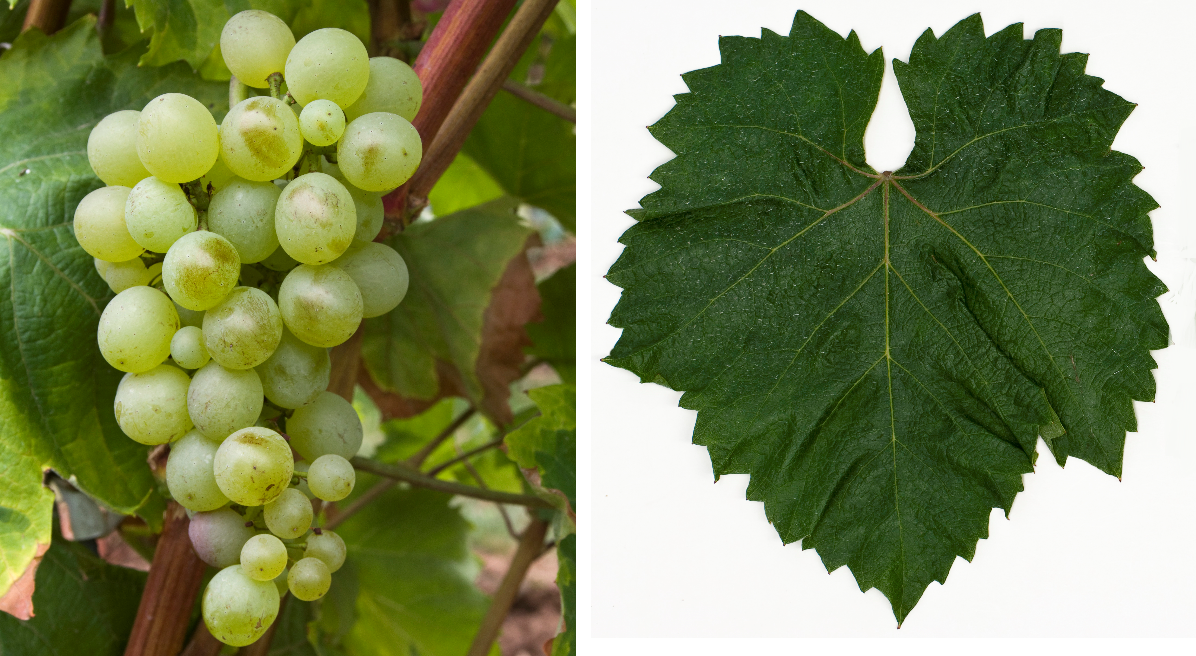 Grasa de Cotnari - grape and leaf