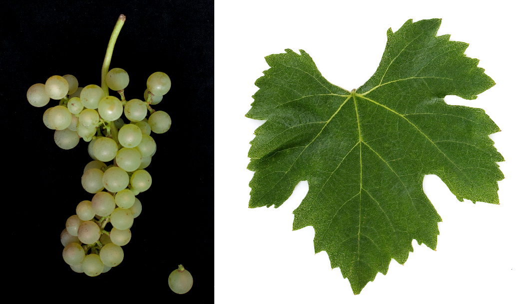Fetească Albă - grape and leaf