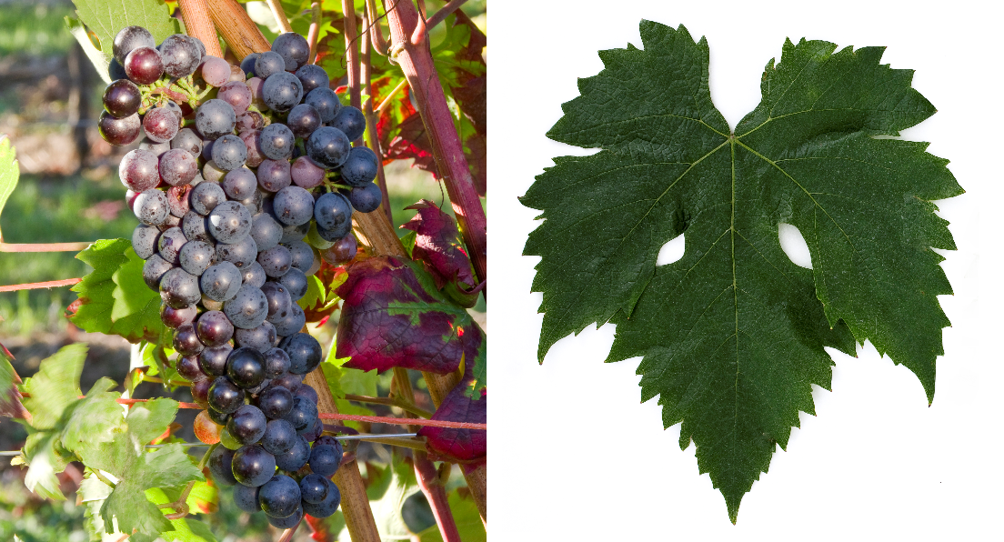 Fetească Neagră - grape and leaf
