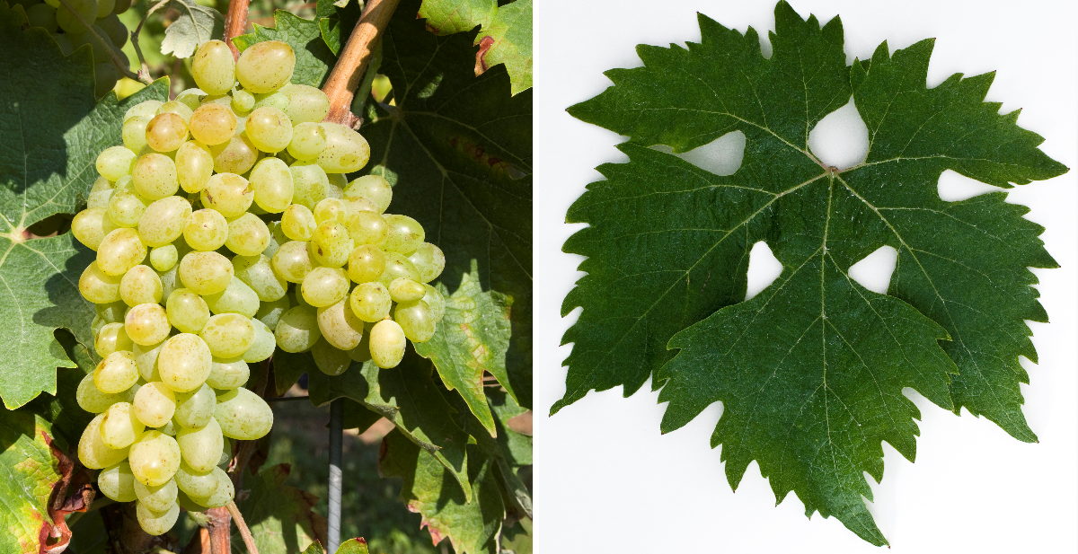 Cavus (Chaouch Blanc) - grape and leaf