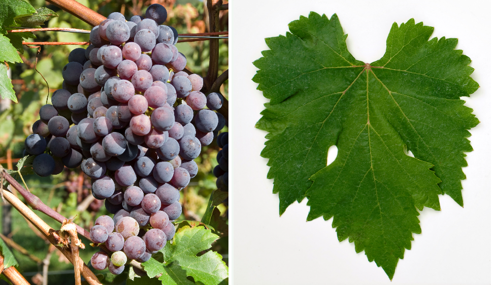 Listán Prieto - grape and leaf