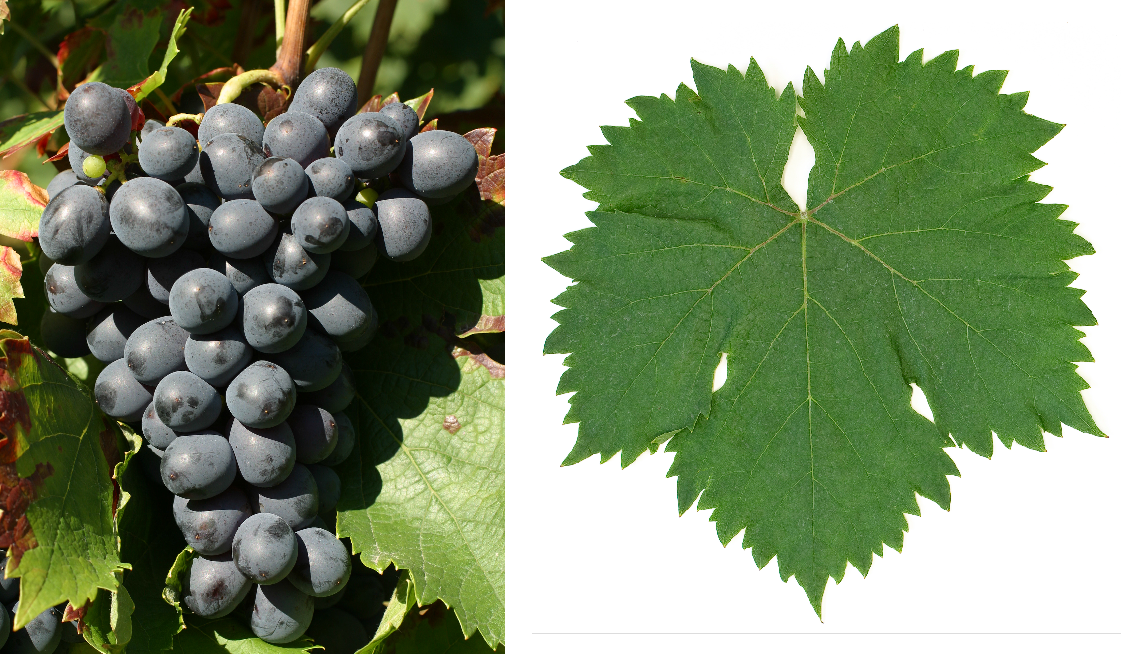 Cinsaut - grape and leaf