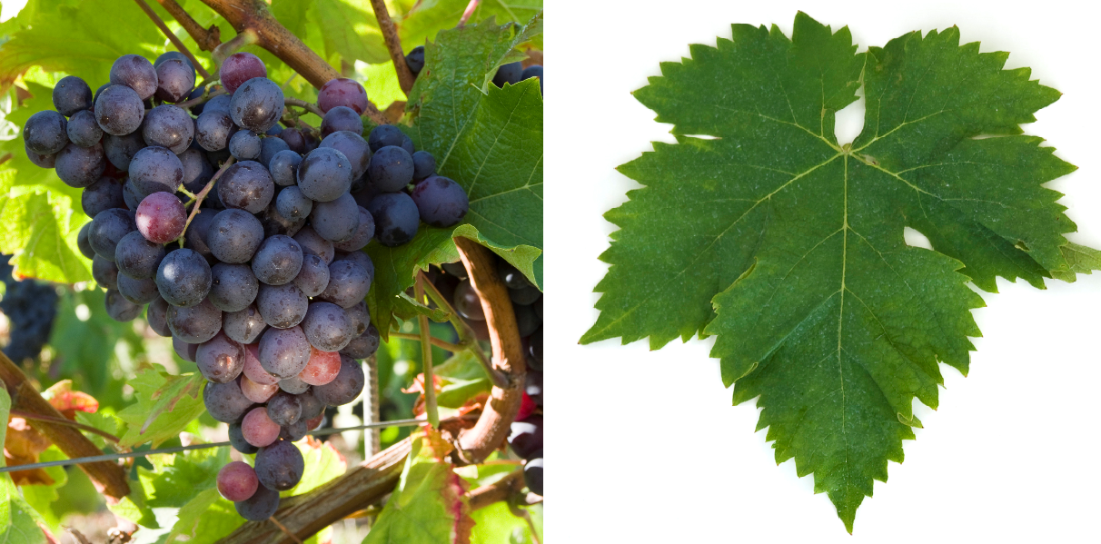 Muscat d'Hamburg - grape and leaf