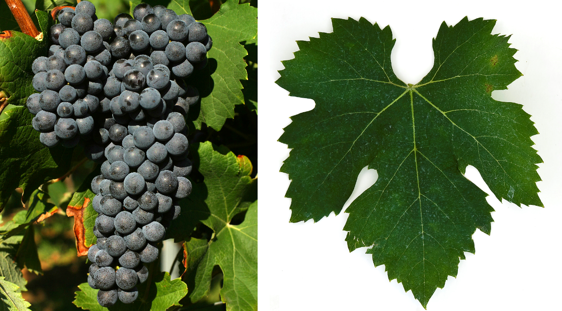 Nebbiolo - grape and leaf