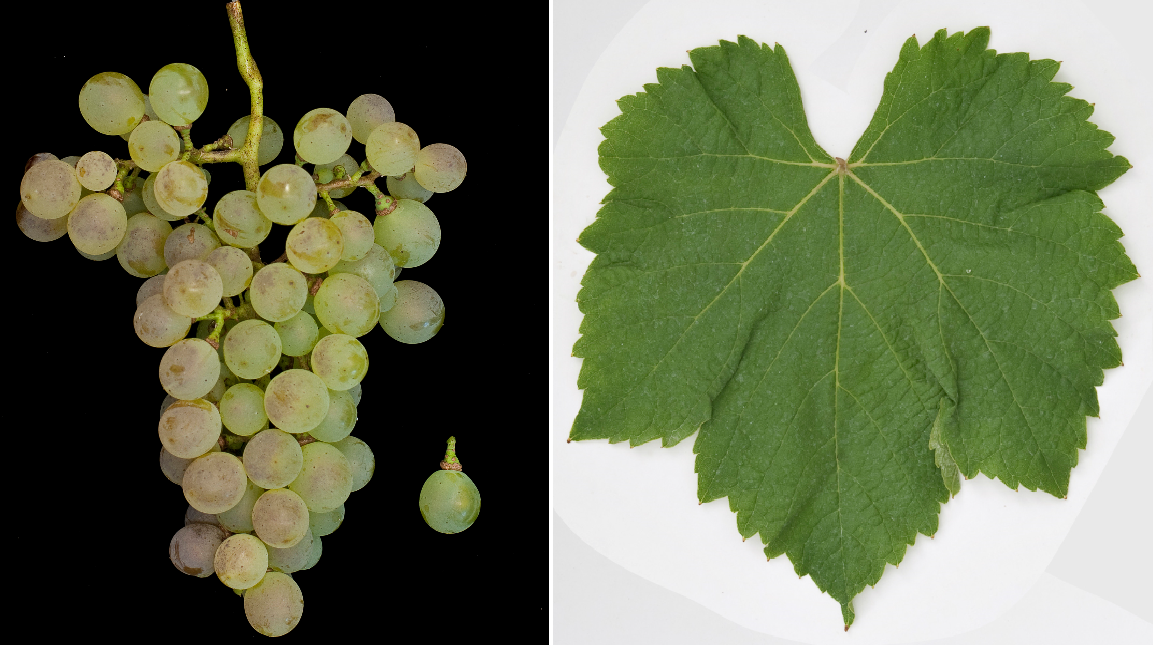 Colombard - grape and leaf