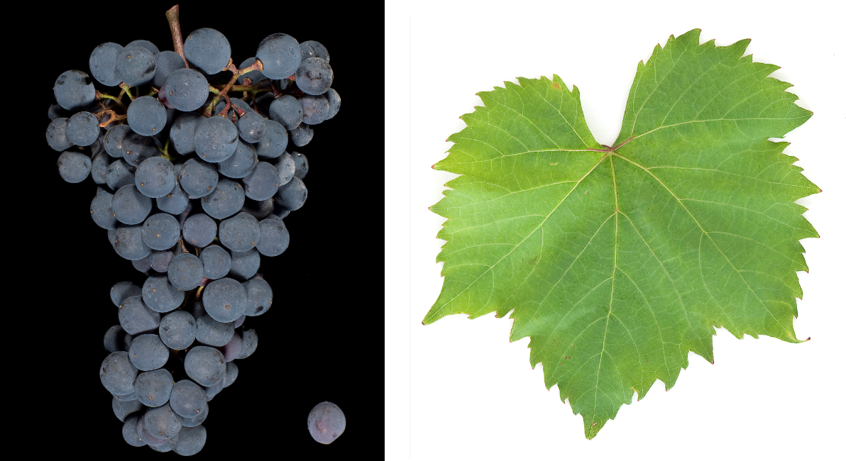 Rubired - bunch of grapes and leaf