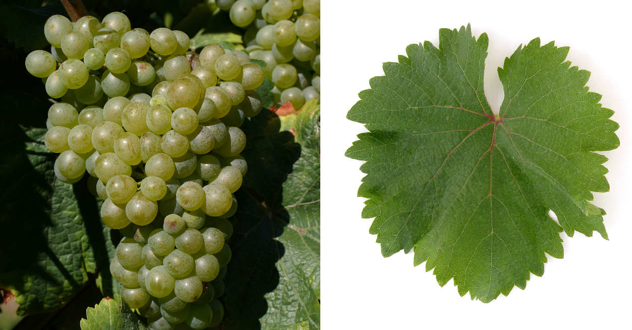 Chenin Blanc - grape and leaf