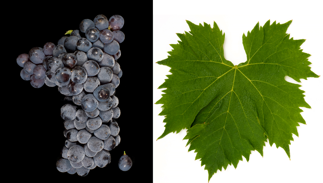 Sangiovese - grape and leaf
