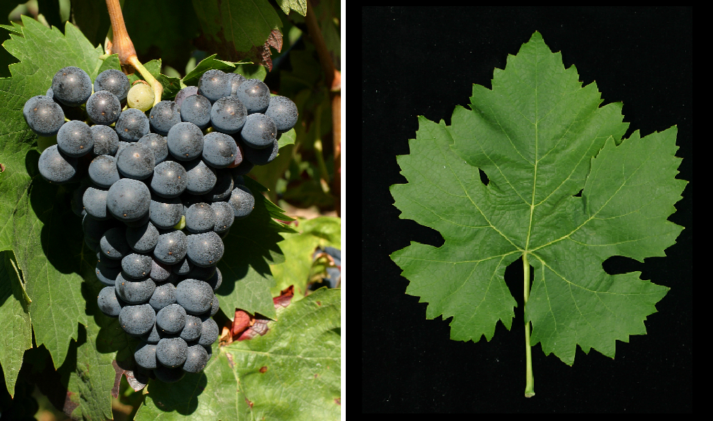 Mazuelo (Carignan Noir) - grape and leaf