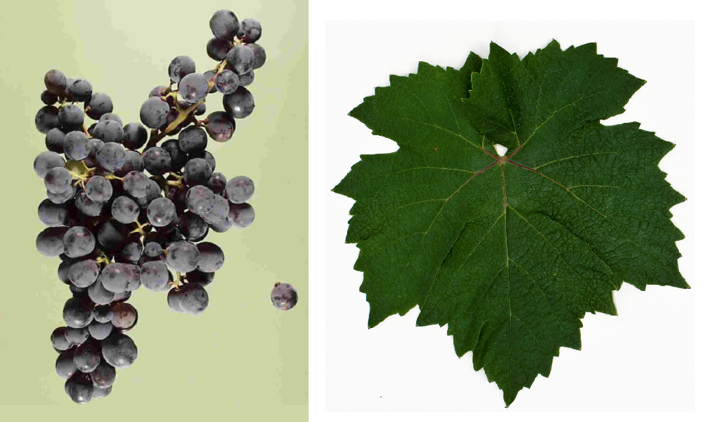 Graciano - grape and leaf