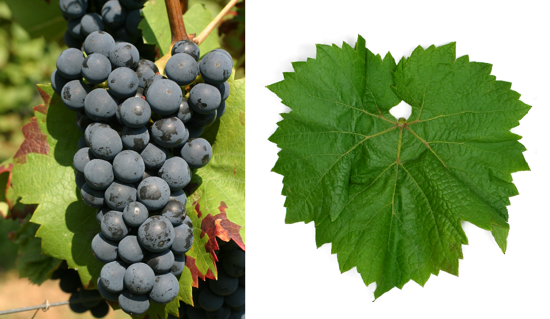 Regent - grape and leaf