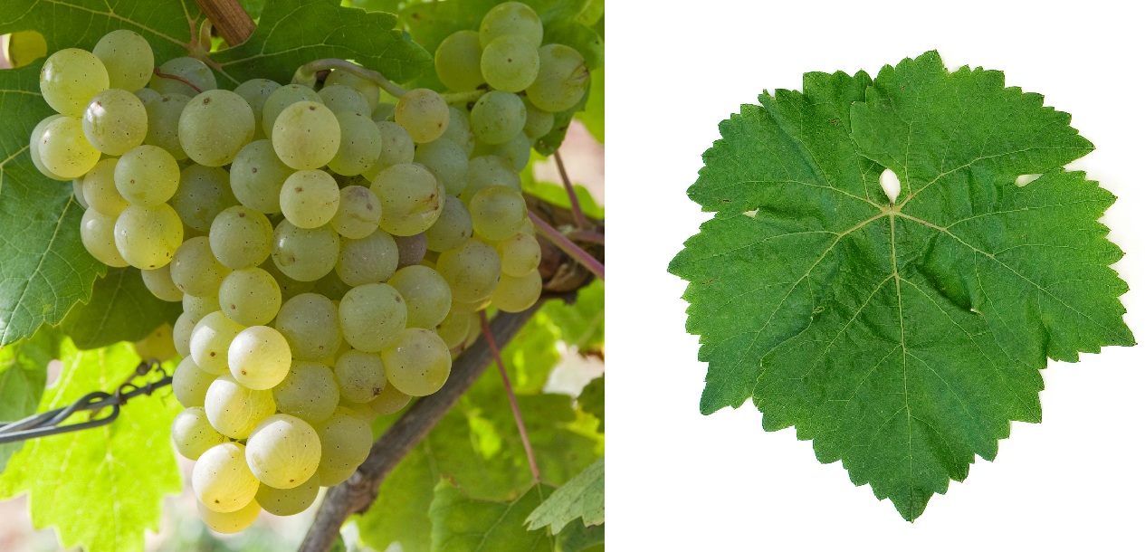 Scheurebe - grape and leaf