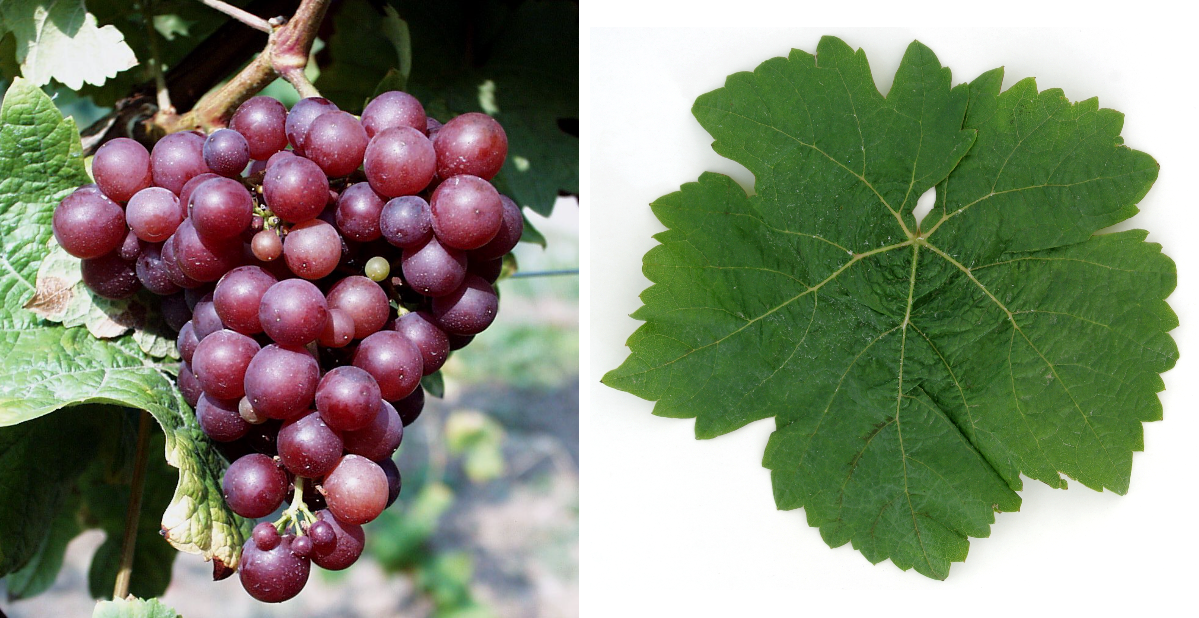 Winner vine - bunch of grapes and leaf