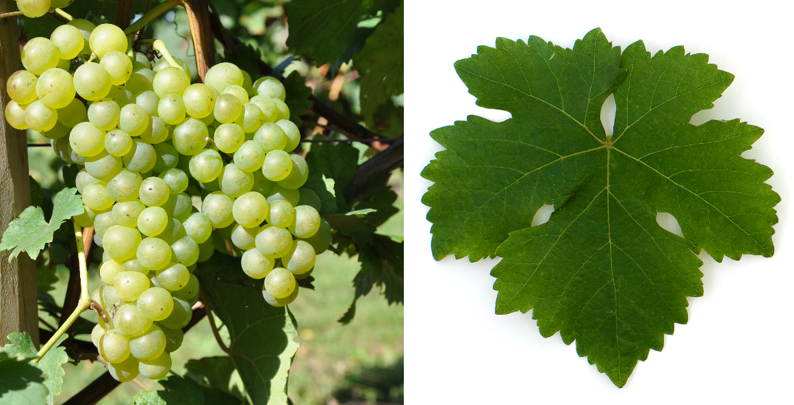 Chasselas - grape and leaf