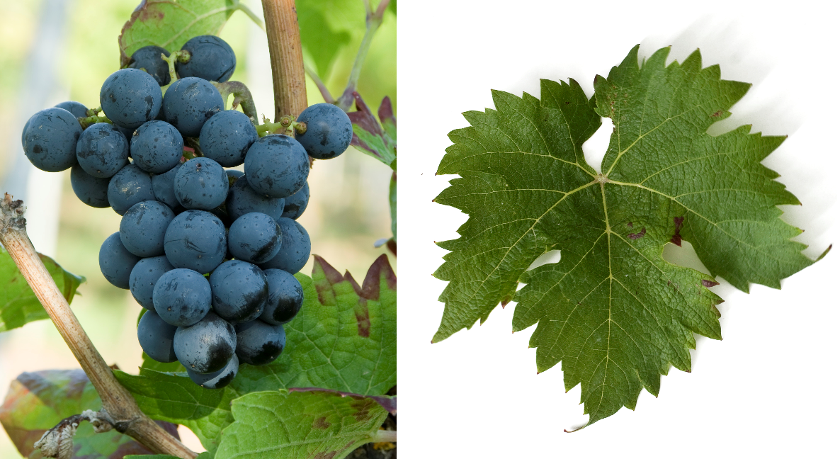 Cabernet Cortis - grape and leaf