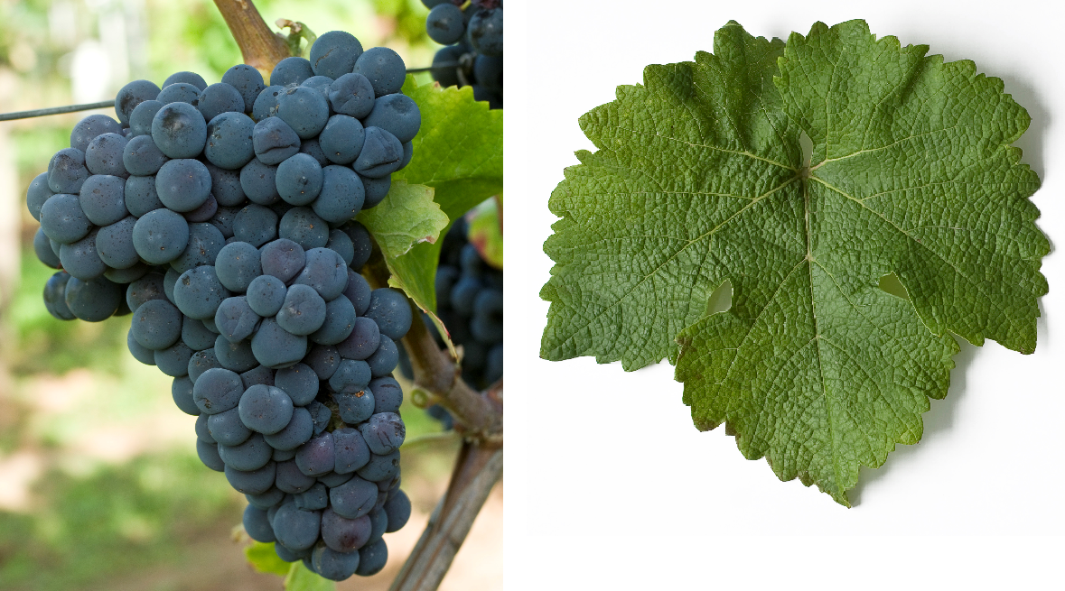 Cabernet Carol - grape and leaf