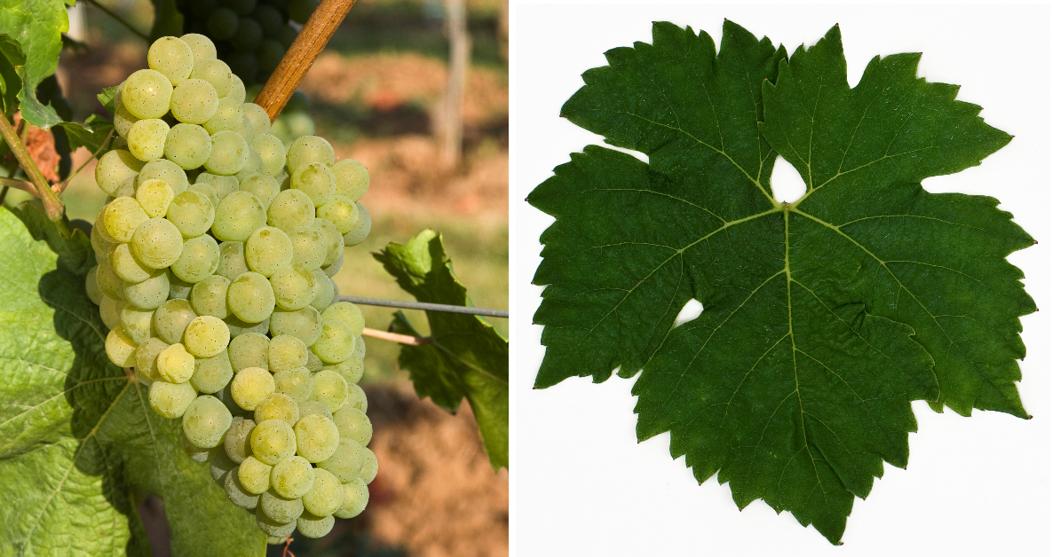 Fontanara - grape and leaf