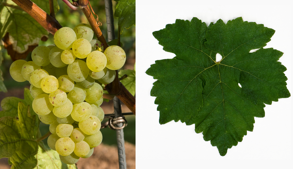 Nobling - grape and leaf
