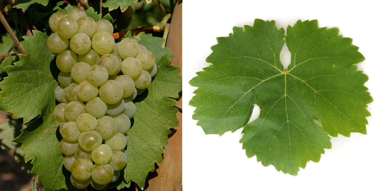 Optima - grape and leaf