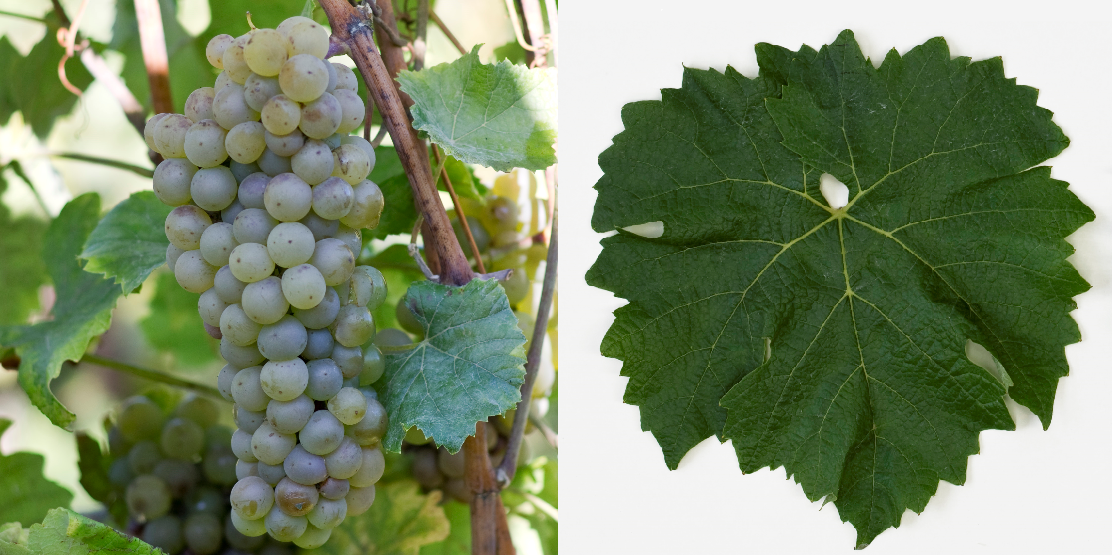 Merzling - grape and leaf