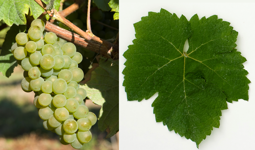 Freisamer - grape and leaf