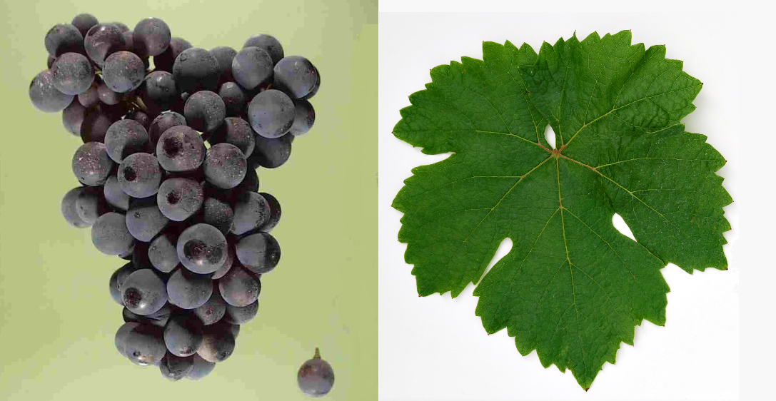 Blauburger - grape and leaf