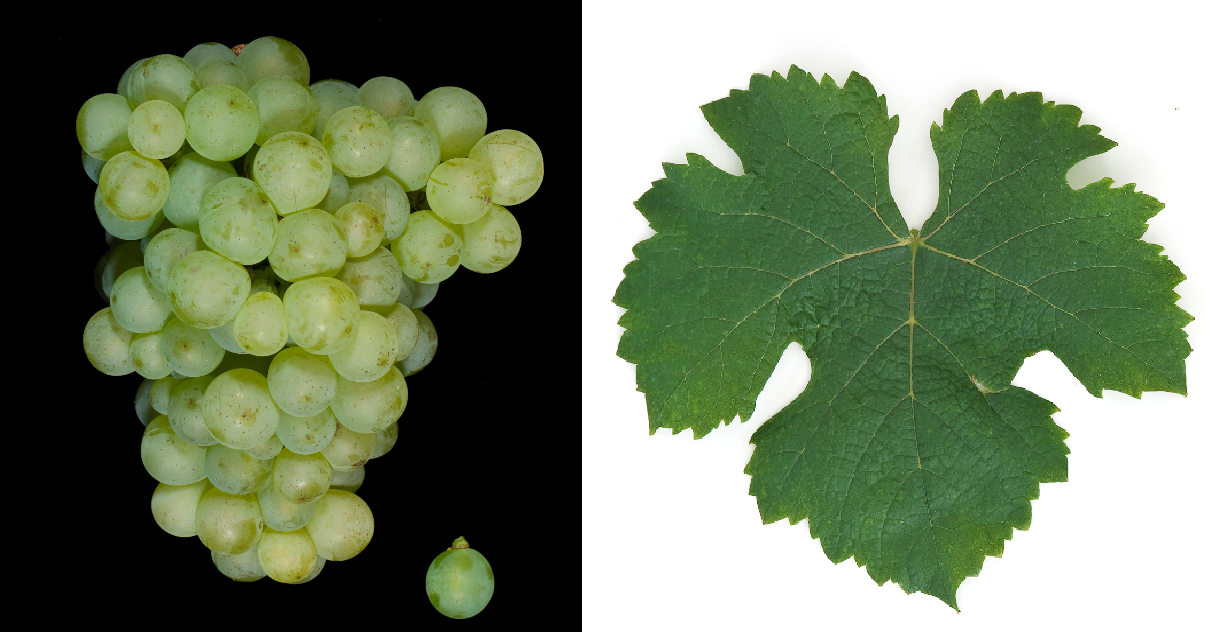 Folle Blanche - grape and leaf