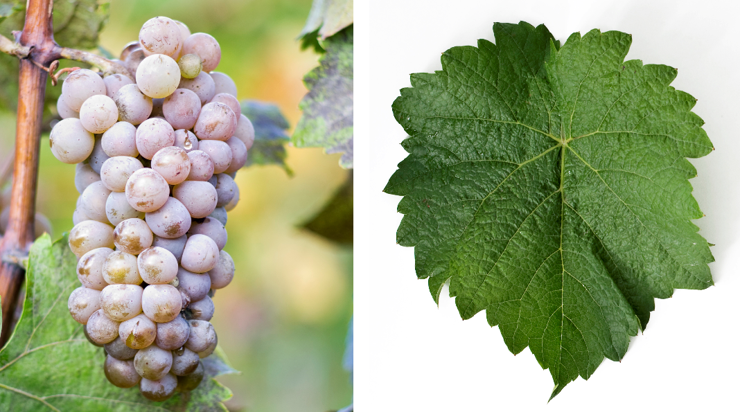 Hibernal - grape and leaf