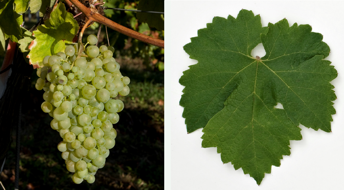 Glera (Prosecco) - grape and leaf