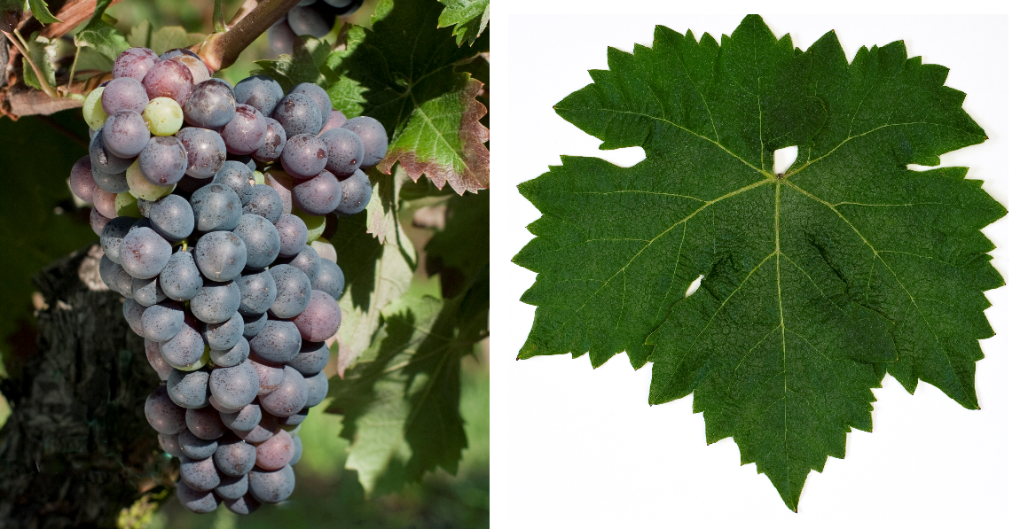 Agiorgitiko - grape and leaf