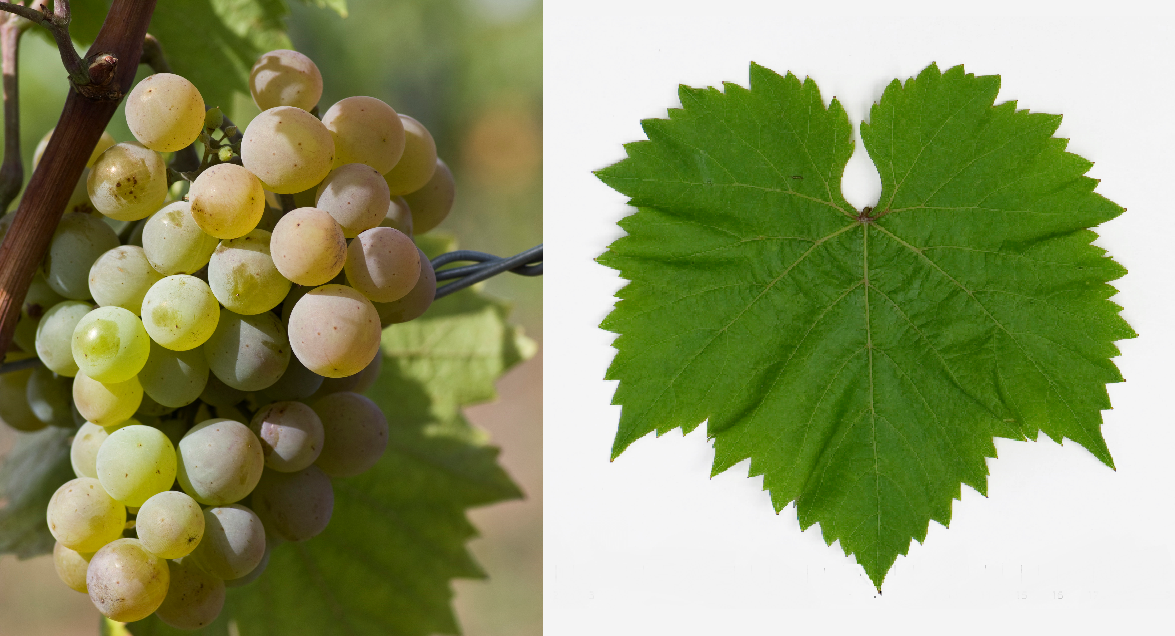Zala Gyöngye - grape and leaf