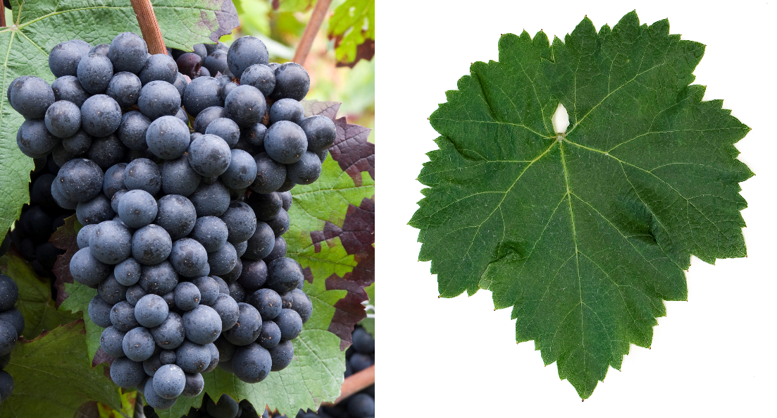 Kadarka - grape and leaf