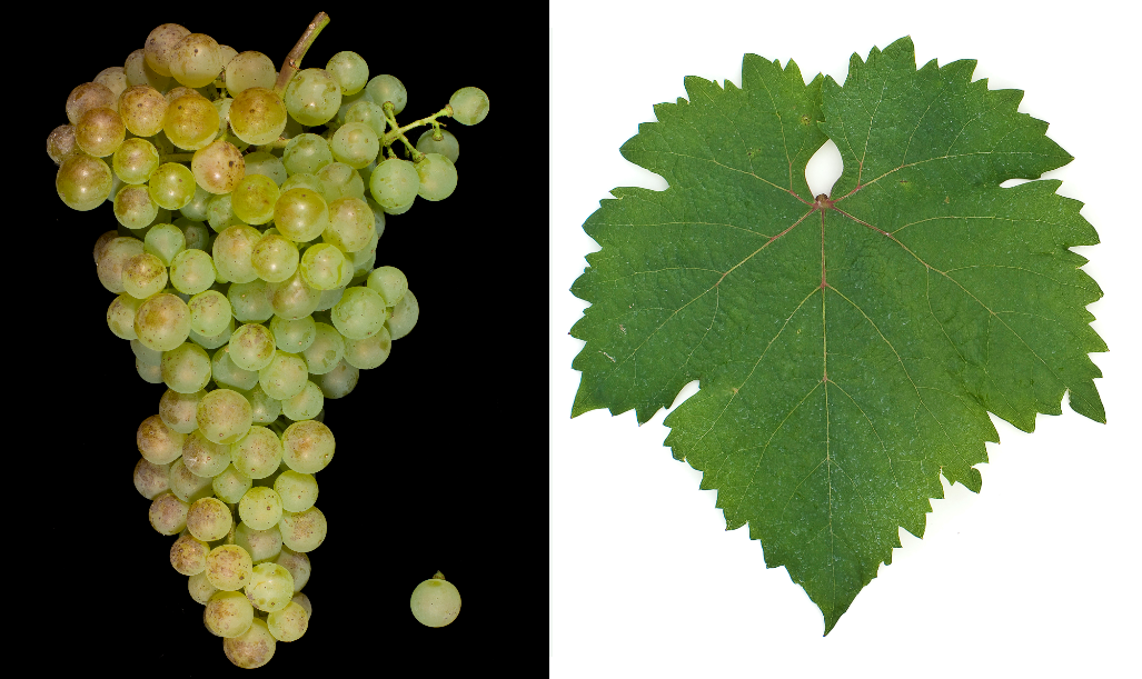 Arany Sárfehér - grape and leaf