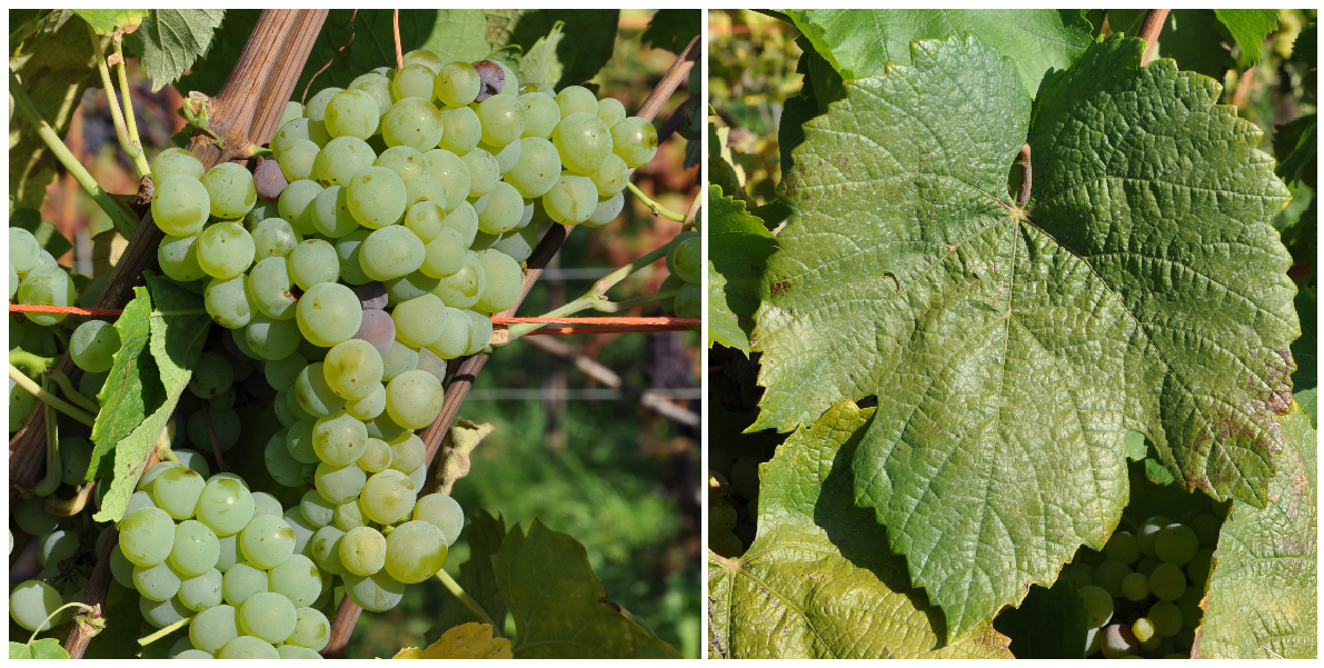 Vékonyhéjú - grape and leaf
