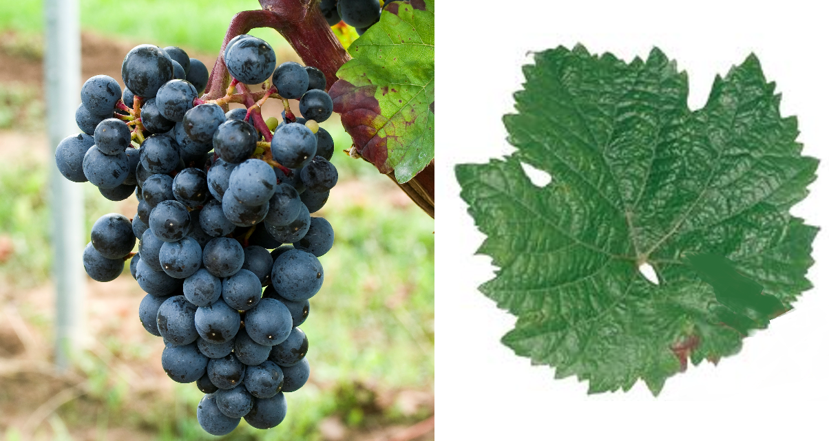 Roesler - grape and leaf
