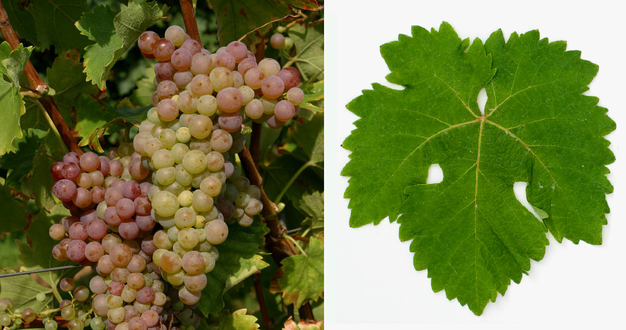 Zierfandler - grape and leaf