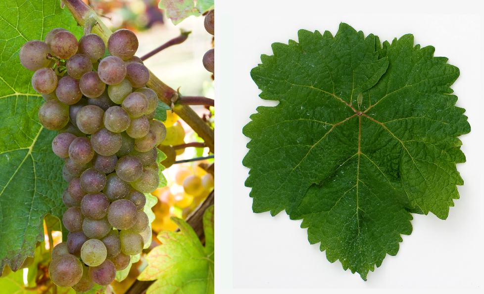 Anniversary vine - bunch of grapes and leaf