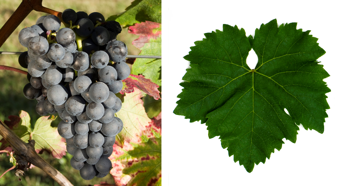 Blue Portuguese - grape and leaf