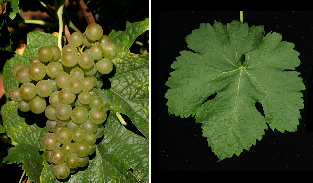Roussanne - grape and leaf