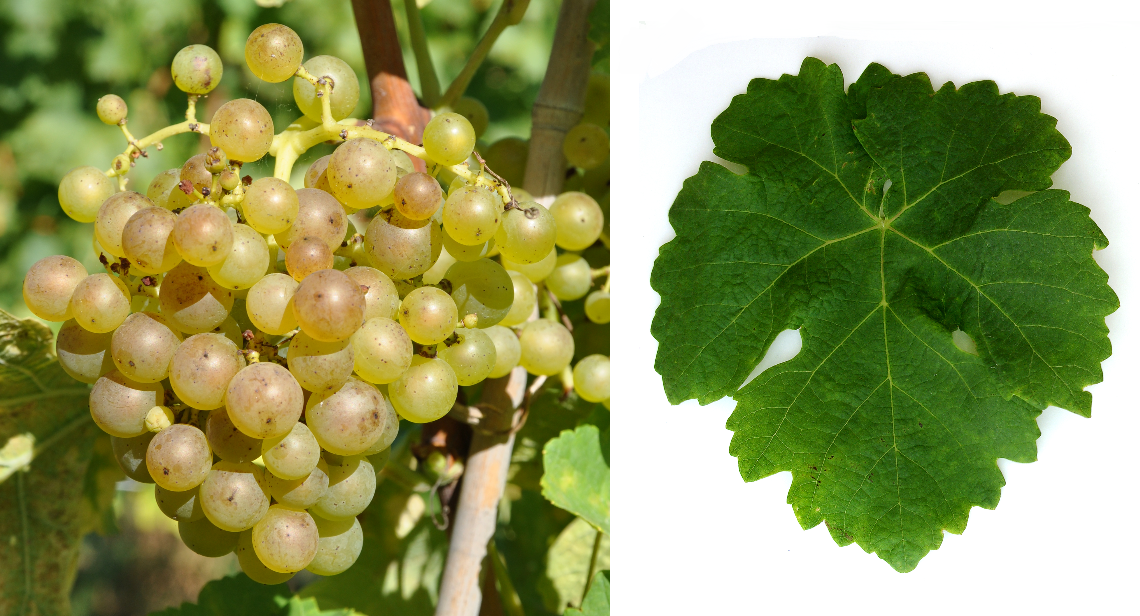 Marsanne - grape and leaf